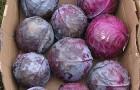 Сорт капусты краснокочанной: Ранчеро f1