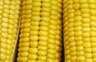 Сорт кукурузы сахарной: Ранняя лакомка 121