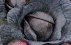 Сорт капусты краснокочанной: Ребекка f1
