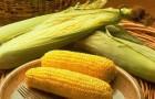 Сорт кукурузы сахарной: Ройалти