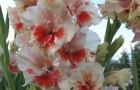Сорт капусты гладиолуса: Румяные щечки