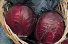 Сорт капусты краснокочанной: Сизая голубка