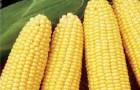 Сорт кукурузы сахарной: Свитстар