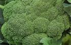 Сорт капусты брокколи: Цезар