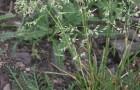 Сорт мятлика лугового: Тамбовец