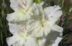 Сорт капусты гладиолуса: Тополиный пух