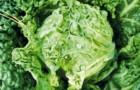 Сорт капусты савойской: Уралочка