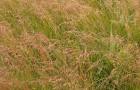 Сорт мятлика лугового: Ургу