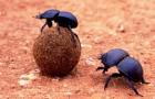 В битве против глобальной жары помогут навозные жуки