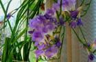 Сорт фрезии: Весна