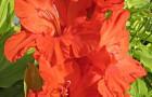 Сорт капусты гладиолуса: Виктор