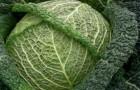 Сорт капусты савойской: Вироса f1