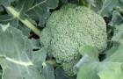 Сорт капусты брокколи: Юнга f1