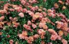 Сорт хризантемы: Афарин
