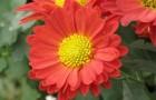 Сорт хризантемы: Альфира