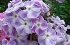 Сорт флокса метельчатого: Амадей