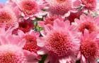 Сорт хризантемы: Атыш