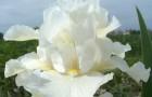 Сорт ириса: Белый карлик