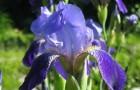 Сорт ириса: Бордюрный синий