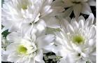 Сорт хризантемы: Дина