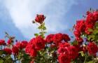 Сорт розы: Фебеса