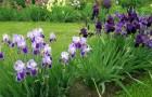 Сорт ириса: Фиолетовый низкорослый