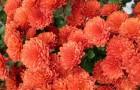 Сорт хризантемы: Гульфия