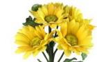 Сорт хризантемы: Гюзель