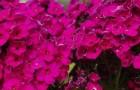 Сорт флокса метельчатого: Краса