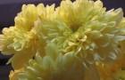 Сорт хризантемы: Кружевница