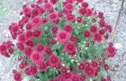 Сорт хризантемы: Ленвера