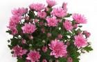 Сорт хризантемы: Лейсан