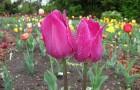 Сорт тюльпана: Малиновый звон