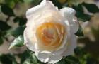 Сорт розы: Мейовски