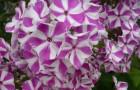 Сорт флокса метельчатого: Мишенька