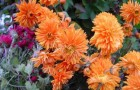 Сорт хризантемы: Насима