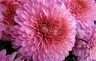 Сорт хризантемы: Оксана