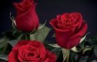 Сорт розы: Олижплам