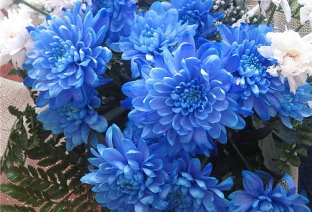 Сорт хризантемы: Отрадненская
