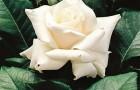 Сорт розы: Паскали