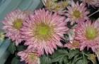 Сорт хризантемы: Пенелопа