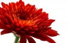 Сорт хризантемы: Радик гареев