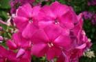 Сорт флокса метельчатого: Рихард зорге