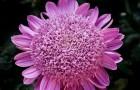Сорт хризантемы: Рима байбурина