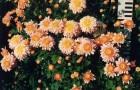 Сорт хризантемы: Утро россии