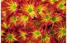 Сорт хризантемы: Ватан