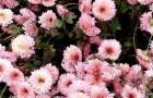 Сорт хризантемы: Вдохновение