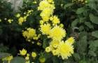 Сорт хризантемы: Волшебница