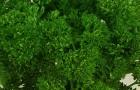 Сорт петрушки: Ворожея