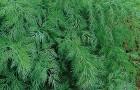 Сорт укропа: Зеленая аллея